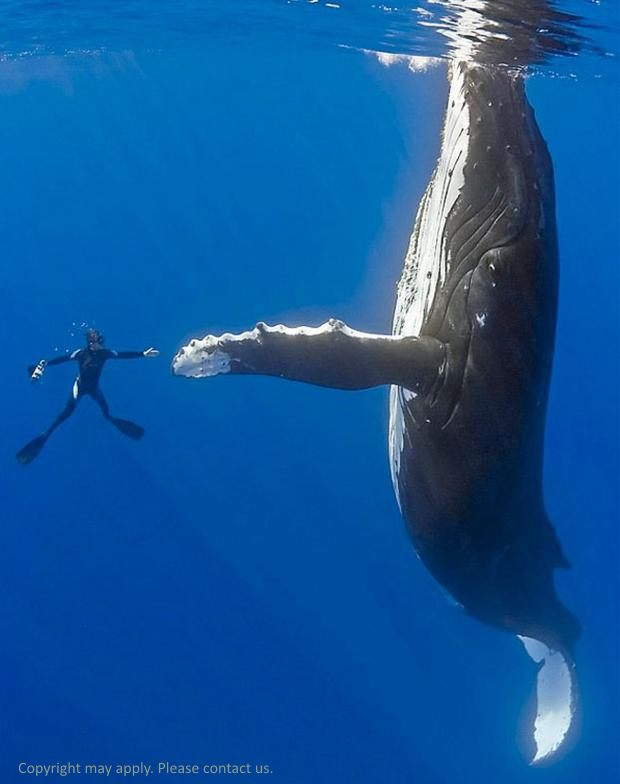 swim-with-a-humpback-whale